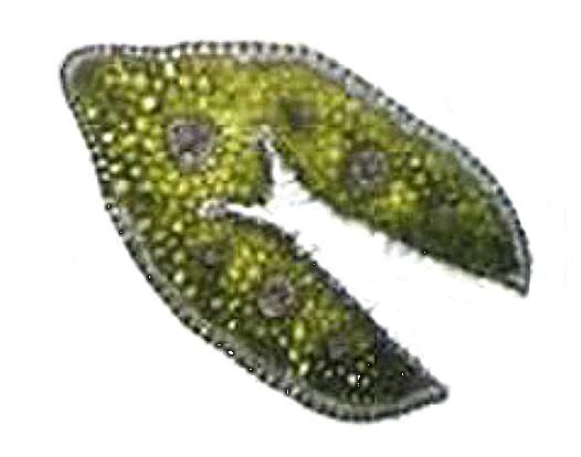 "1 pav. ""F. ovina"" skersinis lapo pjūvis (1 × 100) (autoriaus nuotr.) / Fig. 1. Cross-section of F. ovina leaves"