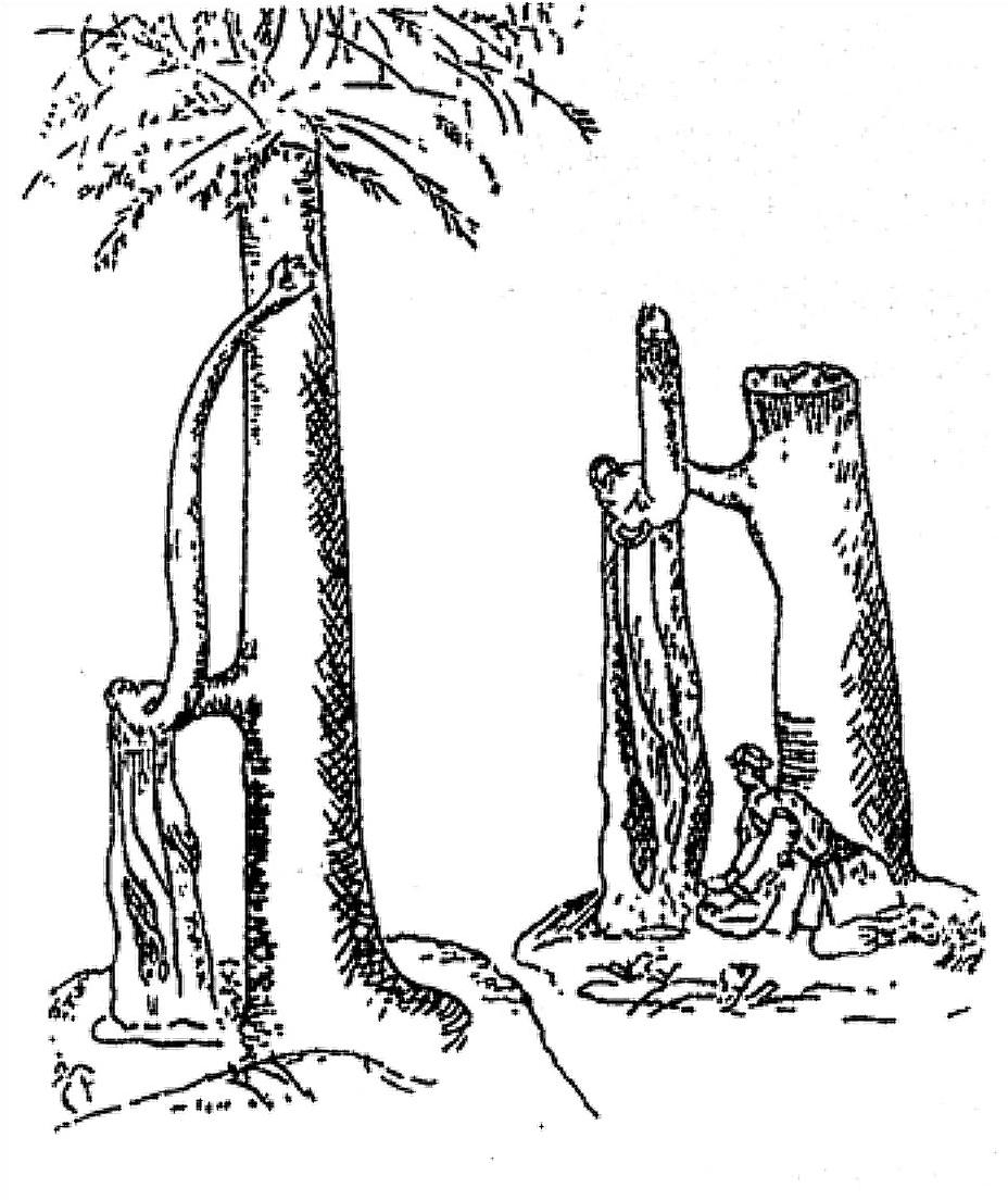 Rumbuota eglė Nybudžių miške, M. Pretorijaus piešinys plunksna (M.  Pretorijus, [I]Prūsijos įdomybės, arba Prūsijos regykla[/I], il. 9).